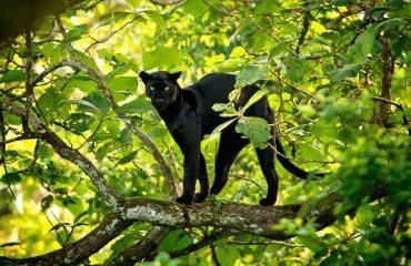 Zwarte panter ©Red Earth Kabini lodge
