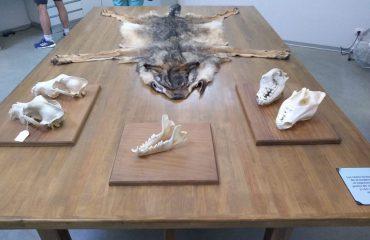 Display Wolf Sanctuary Pueblo de Sanabria @AllforNatureTravel