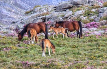 Garrano's wilde paarden Geres NP © Charming Villages