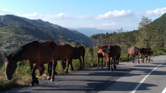 Garrano paarden @AllforNatureTravel