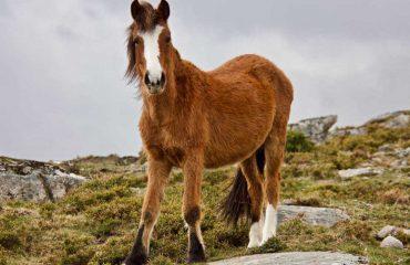 Garrano, wild paard ©CharmingVillages