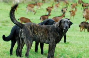 Grupo Lobo Livestock Guarldian Dogs ©GrupoLobo