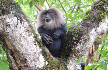 Wanderoe of Lion-Tailed Macaque endemisch