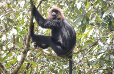 Nilgiri Langoer Endemic Anamalai Tiger Reserve