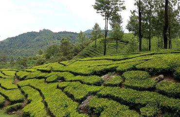 Theeplantages Munnar