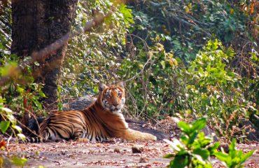 Tijger Anamalai Tiger Reserve
