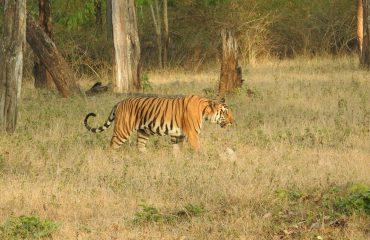 Tijger (Panthera tigris) Nagarhole National Park
