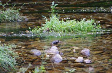 Waterspreeuw EcoVia Geres NP@AllforNatureTravel