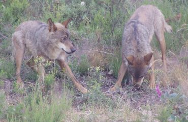 Iberische Wolven in de Sanctuary Pueblo de Sanabria @AllforNatureTravel