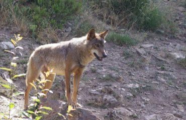 wolf in Wolf Sanctuary in Pueblo de Sanabria @AllforNatureTravel